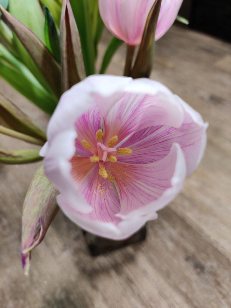 Tulpen färben